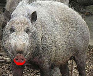 UNRWA Faces Pig Lipstick Shortage In Nazi Sympathizer Coverups