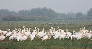 hula-valley-migrating-birds