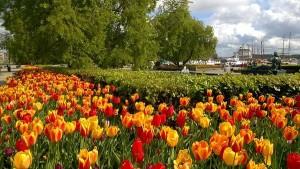 Oslo tulips